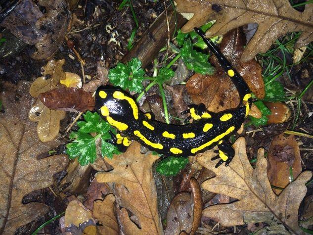 Salamandre-1339-JFOUERT-PNRLG-web.jpg