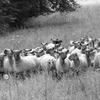 Moutons  2.jpg