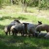 Moutons 1.jpg