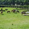 les poneys et chevaux dans les prés et terrain croos.JPG