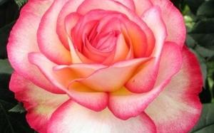 01.02.06 roses.jpg