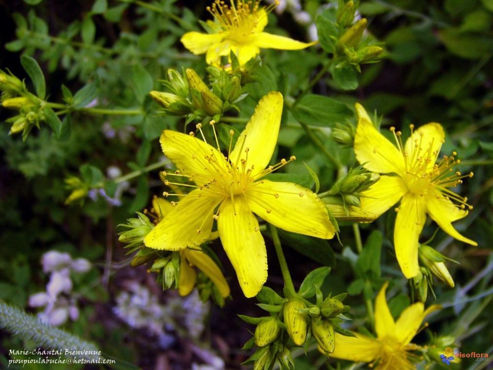 herbe-de-la-saint-jean-visoflora-33104.jpg