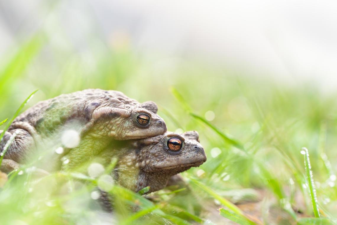 migration amphibiens.jpg