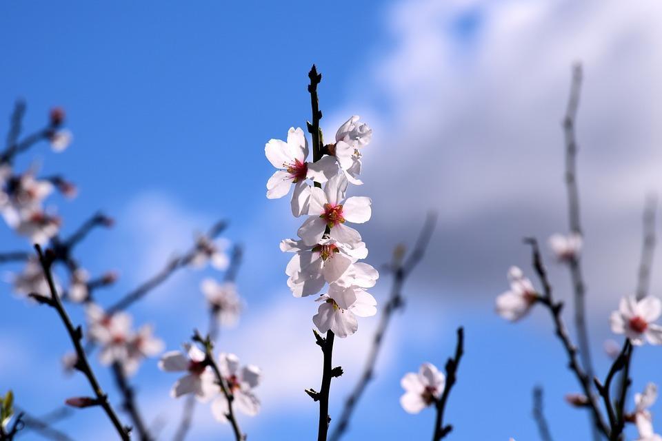 almond-tree-3151787_960_720