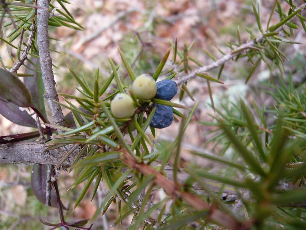Genévrier graine (3) (2)
