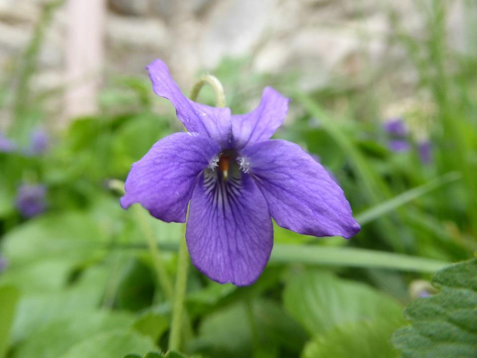 Viola odorata_03