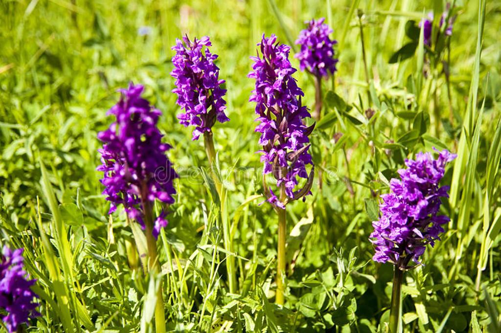 orchidées-sauvages