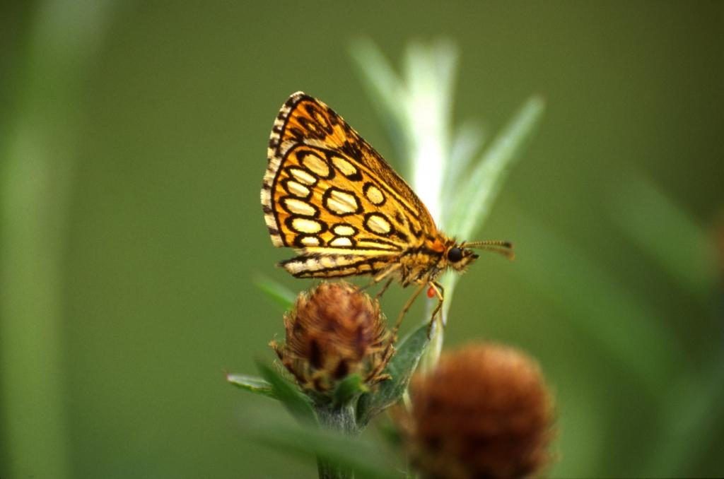papillon ens