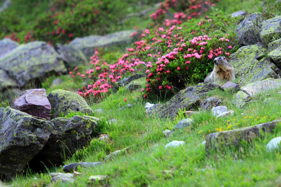 Marmotte--Nicolas-Fernandez-