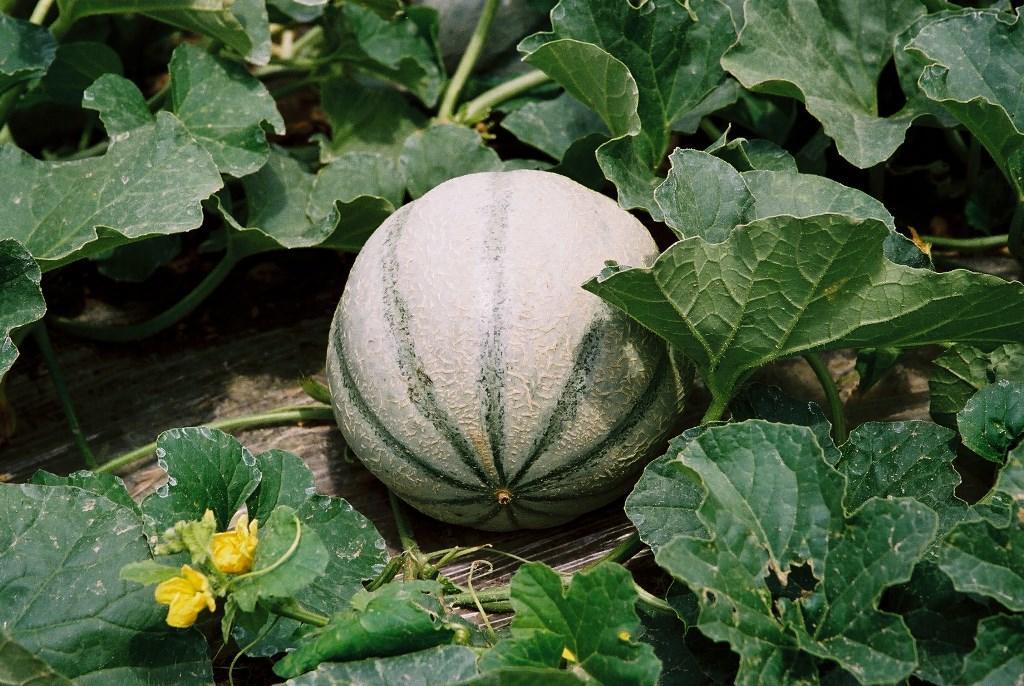 melon-de-la-venise-verte-doix-deg-85-1