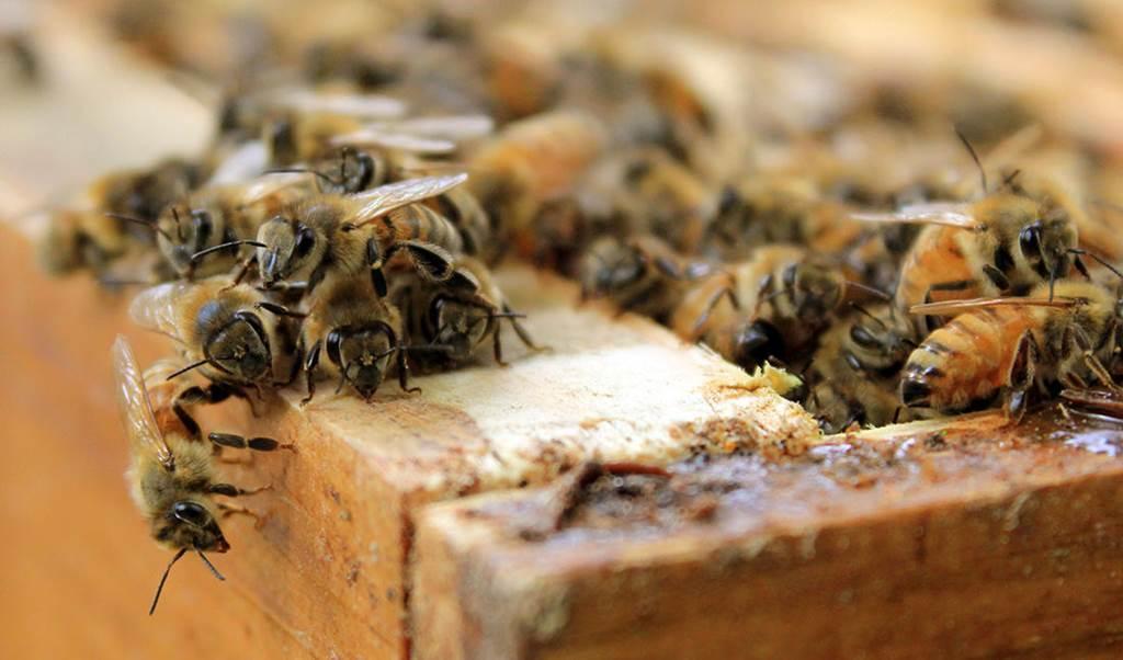 Et si les abeilles disparaissaient ?