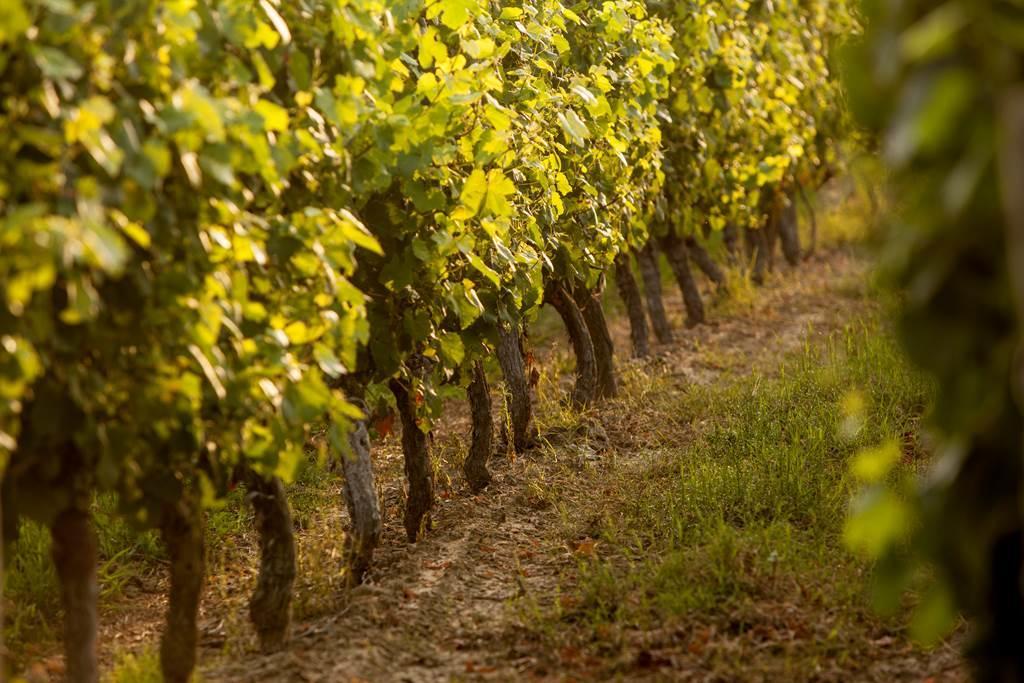 vignoble de Fronton - vignes