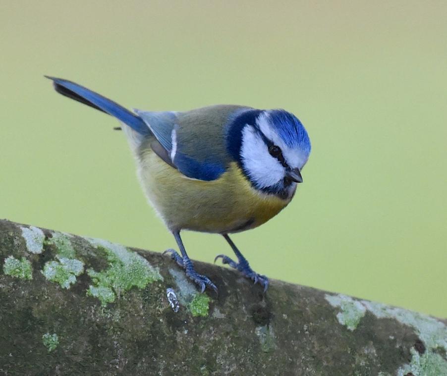 mesange bleue