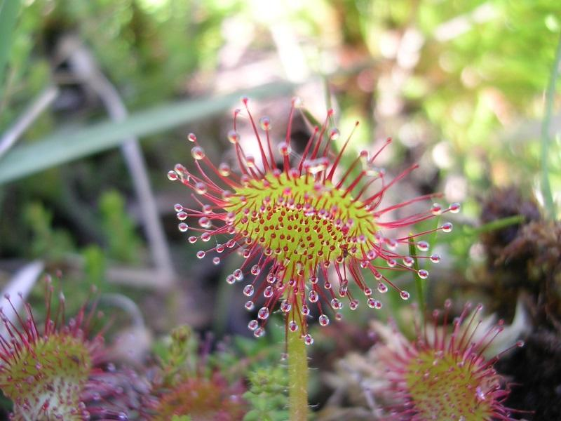 drosera-a-feuilles-rondes-PP