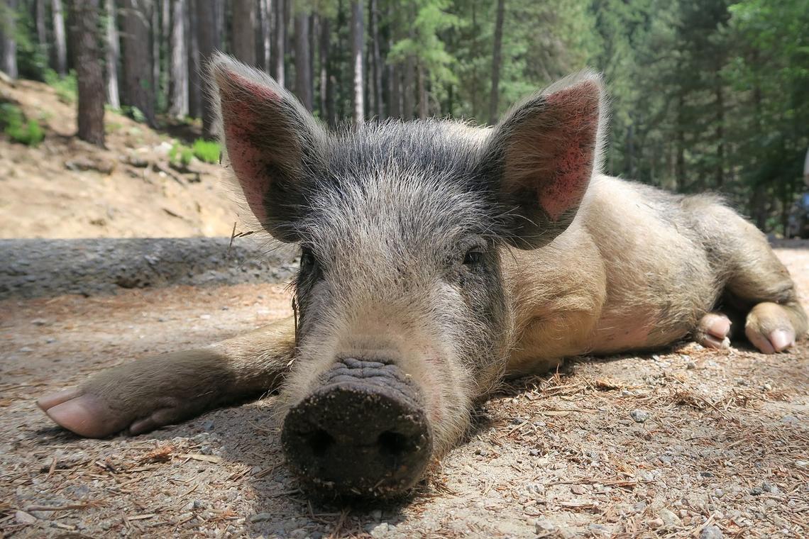 Cochon Porc Salaisons