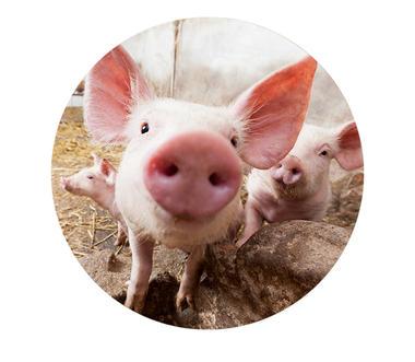 Prairies-Coustalat-cochon.jpg