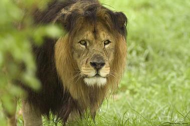 Lion_Zoo des Sables - Paul Eric.jpg