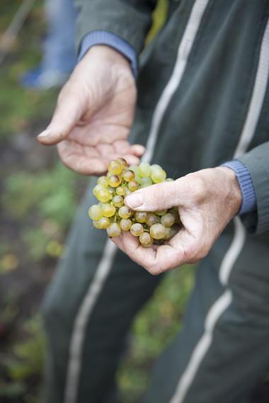 Le raisin des terres noires - Terril viticole - Haillicourt © Brigitte Baudesson