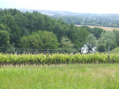 Vignes 1 © Domaine la Rose.JPG