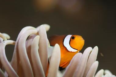 amphiprion_percula(c)aquarium-larochelleSAS.JPG