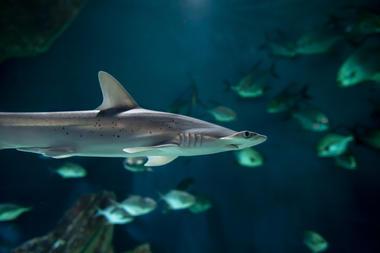 requin-marteau(c)FALM-aquarium-larochelle.jpg