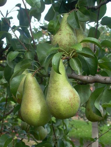 Des arbres fruitiers dans le potager - Géotopia - Mont-Bernenchon