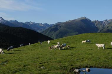 Beille troupeaux vache Gasconne - CP Magalie Lacube (4).jpg