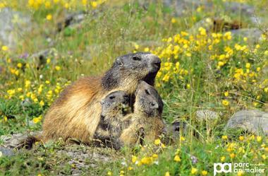 marmote 2.jpg