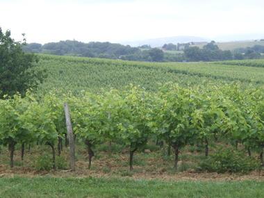 Vignes © Domaine la Rose.JPG