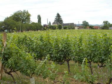 Vignes(2).JPG