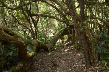 La forêt de Tamarins des Hauts