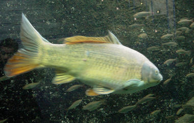 Pescalis, aquarium carpe d'or.jpg