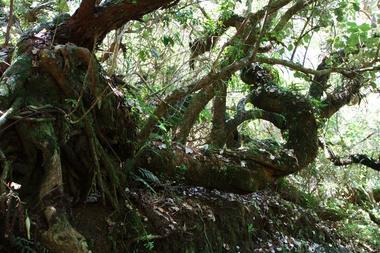 Lieu dit le Mapou, lorsque le sentier atteind le fond plat de la vallée, vers 1600m, où on rencontre de beaux tamarins des hauts