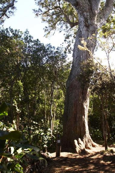 L'un des plus vieux Tamarins des Hauts, étonnament droit et âgé de plus de 400 ans