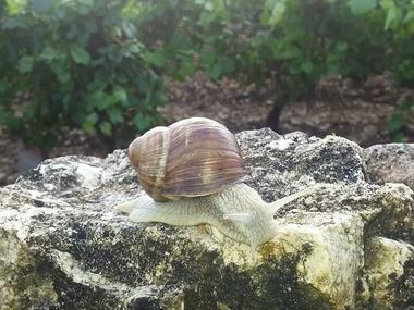 Escargot de bourgogne dans vignoble beaunois-©L Dallerey