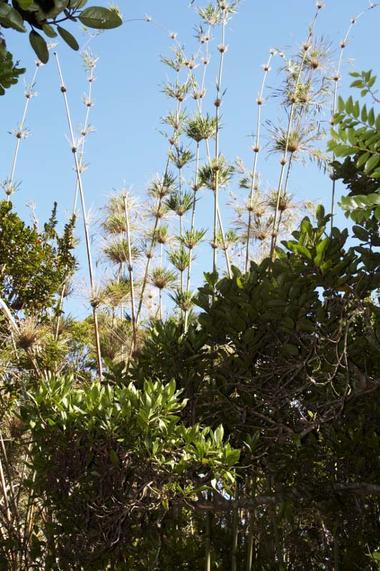 Le calumet est une variété de bambou endémique