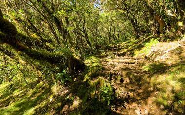 Le sentier pénètre rapidement dans une forêt de tamarins des hauts. Vous êtes à une altitude proche de 1500m et c'est là que commence à proliférer le tamarins des hauts.