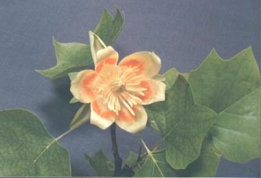 fleur de tulipier 1.jpg