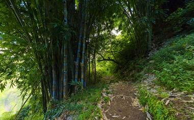 Le sentier et les premières touffes de bambou