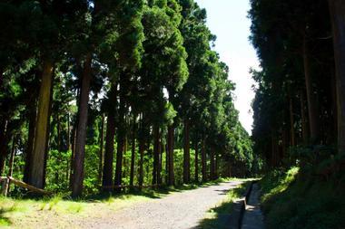La route forestière que vous ferez à pied traverse une forêt de cryptomérias
