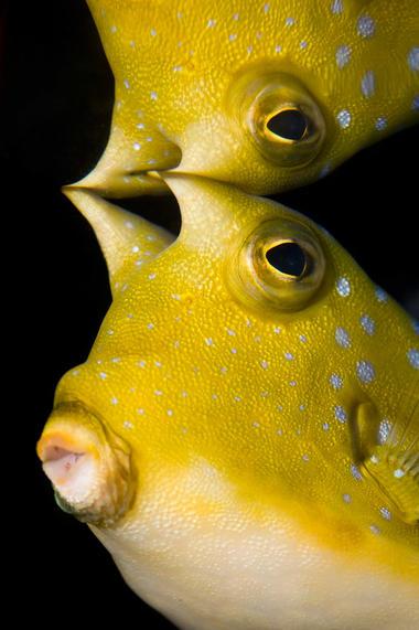 Lactoria cornuta Grand Aquarium de Touraine