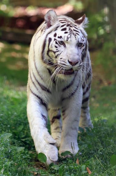 Tigre-blanc_©ZooParc-de-Beauval-(01).jpg