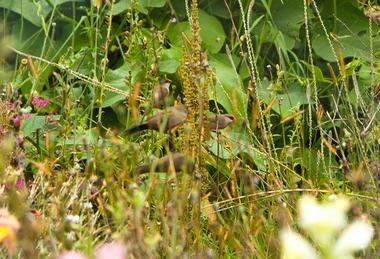 Le bec rose est un petit passereau africain d'environ 10 cm introduit à la Réunion. On en voit beaucoup à La Nouvelle