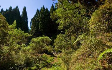 Le sentier émerge de la forêt de cryptoméria et l'ascension vers le Cap Anglais commence