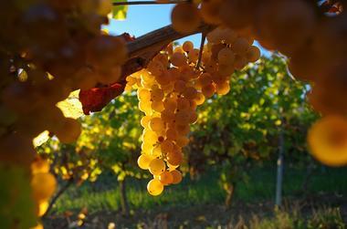 Vin blanc des côtes de Gascogne