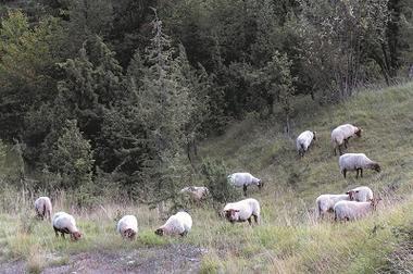 Moutons < Chermizy Ailles < Aisne