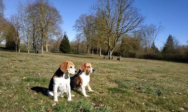 nos 2 beagles Helma et Jappy