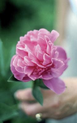 Jardin de Viels-maisons_rose < Viels-Maisons < Aisne < Picardie