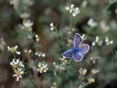 Papillon Azur