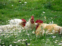 deg_poules_reunion_generique